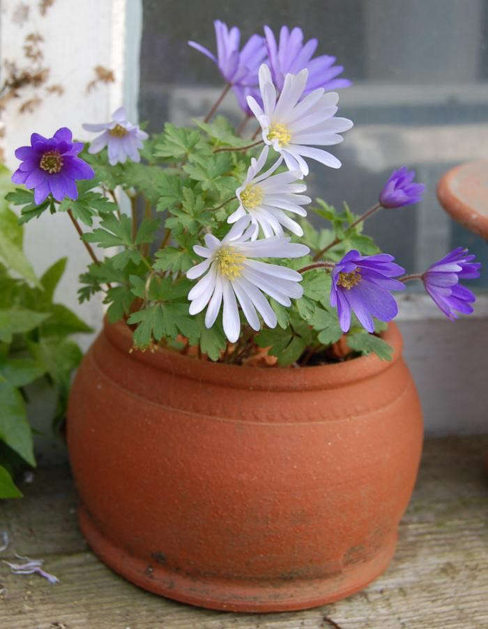 700_anemone-cropped