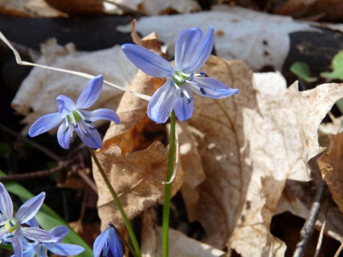 700_squill