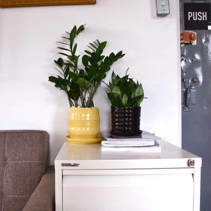 700_the-zenas-dane–zz–and-the-kingdon–snake-plant-