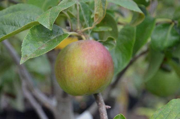 700_apple-4