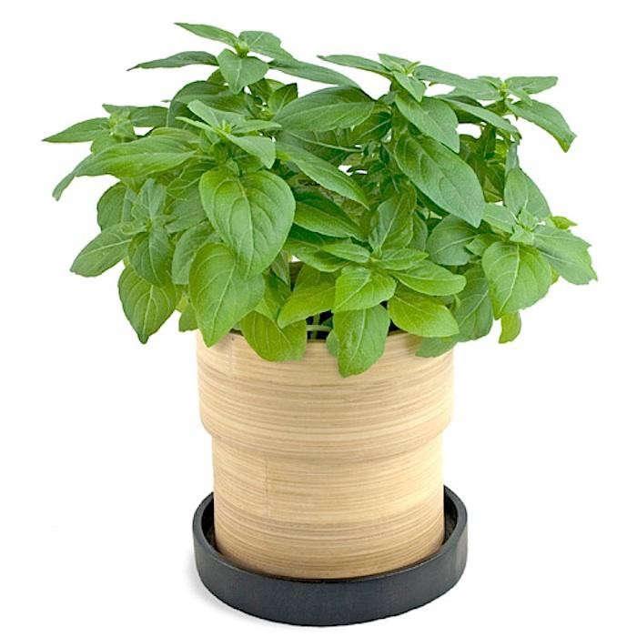 700_bamboo-pot-basil
