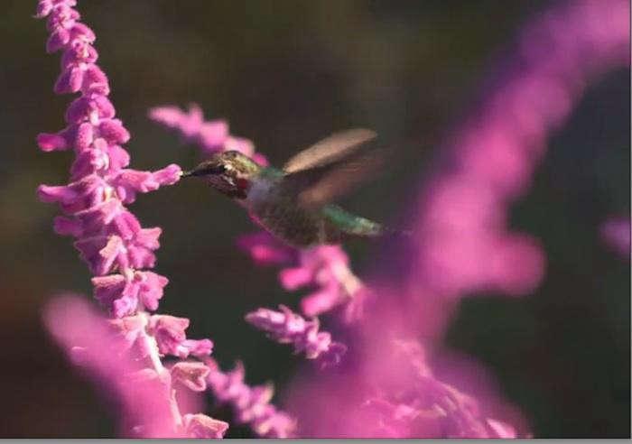 700_hummingbird-in-michelle-s-salvia