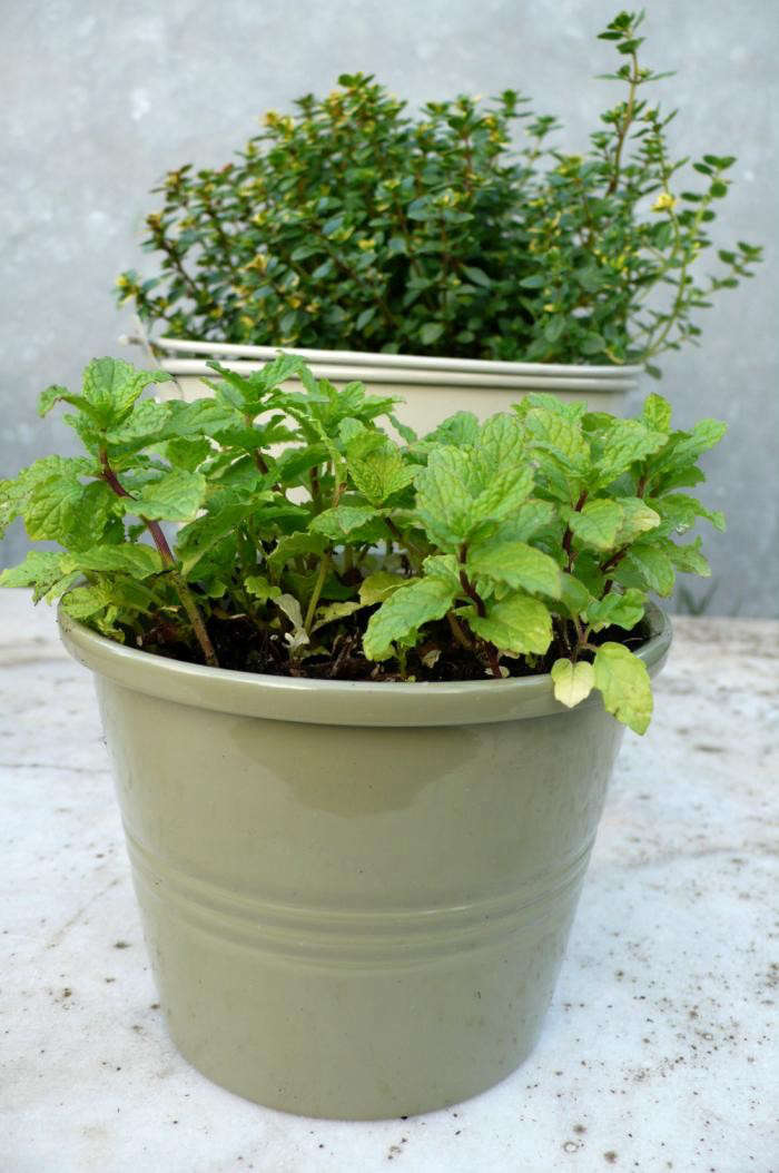 700_moroccan-mint-thyme