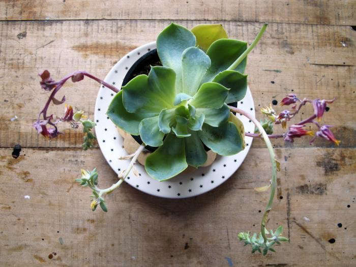 700_succulent-by-mieke