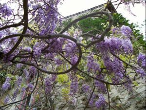 wisteria train how not to eat a house