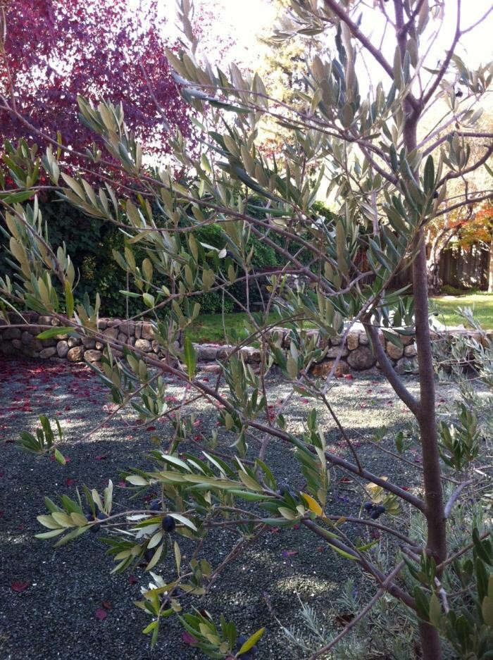 700_olive-tree-in-garden-copy