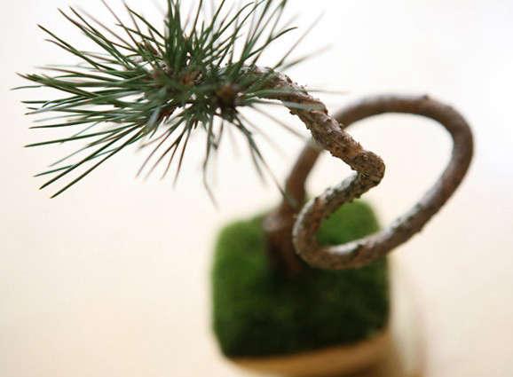 yes-bonsai-sinajina-kuromatsu3