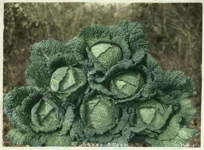 700_comstock-ferre-savoy-cabbage
