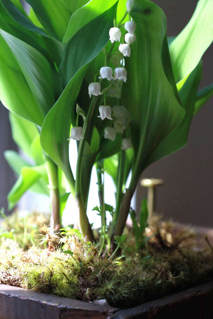 lily of the valley blooming indoors