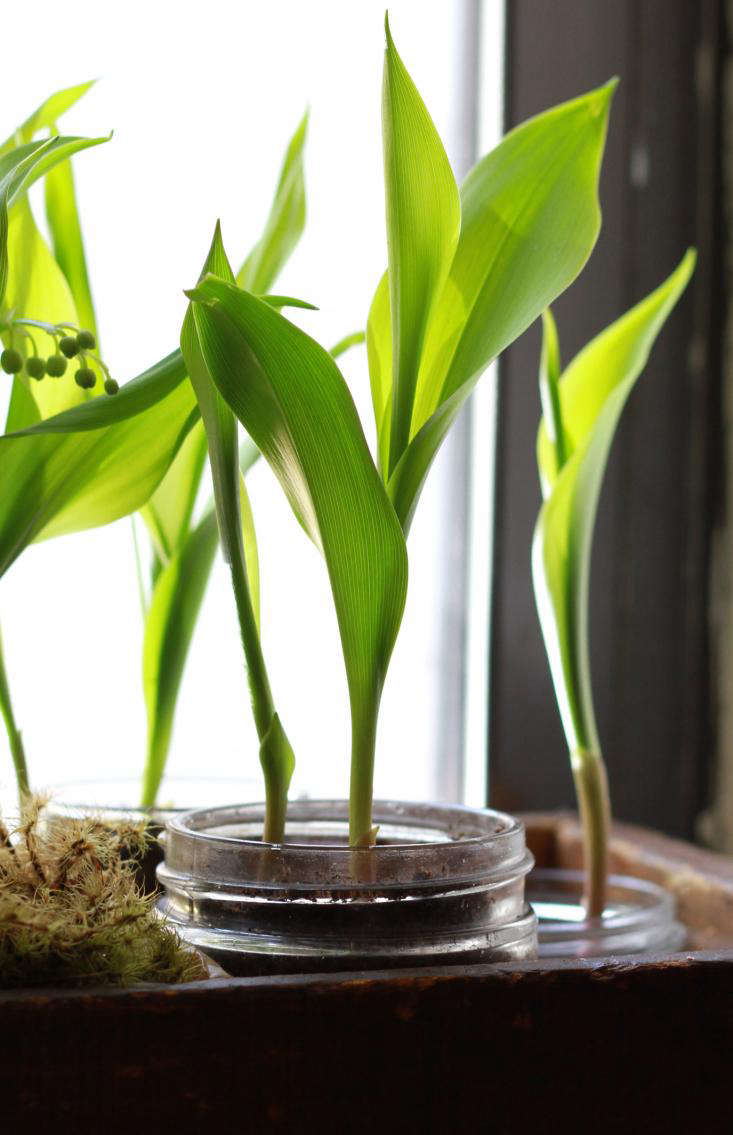 diy-lily-of-the-valley-sprouting-gardenista
