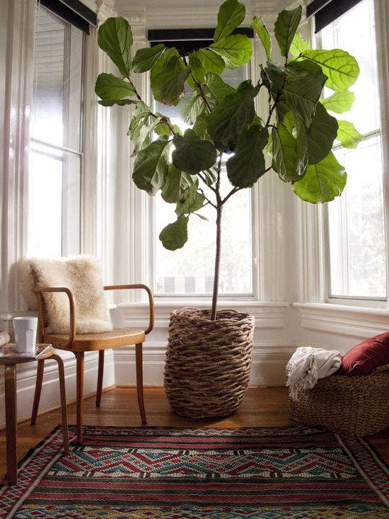 Charming Fiddle Leaf Fig Tree (fiddle Leaf Fig) By The Marion House Book