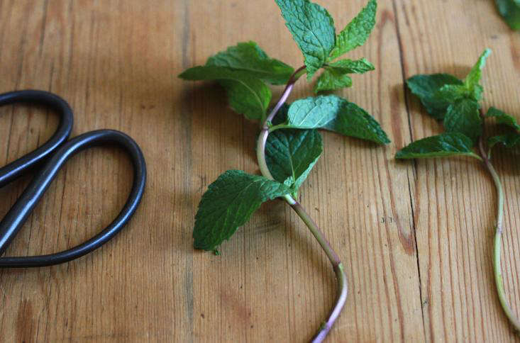 mint stripped of lower leaves