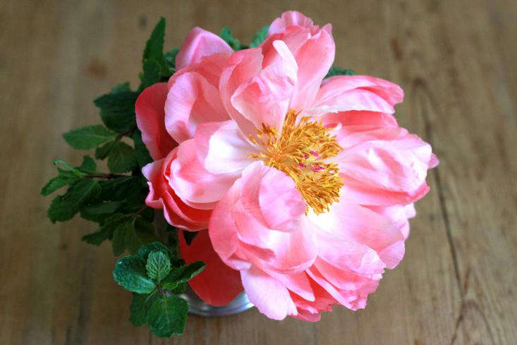 open peony on wooden table