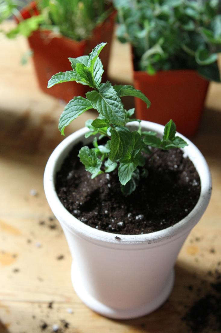 put your mint in a pot