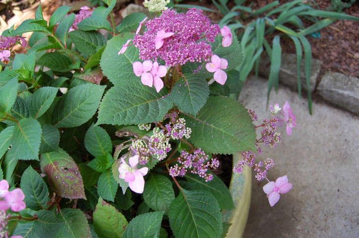 twist-n-shout-hydrangea-gardenista