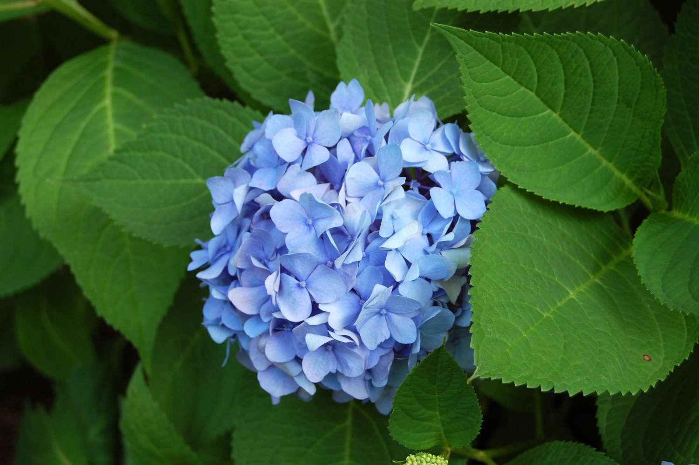 Endless Summer Blue Hydrangea