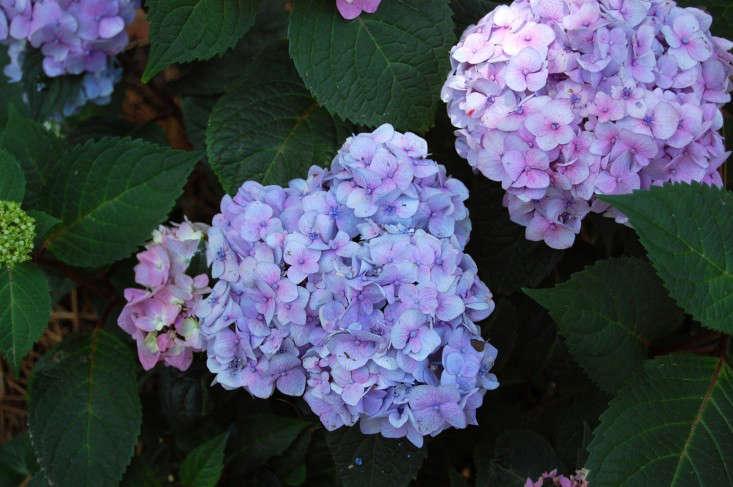 hydrangea-bloomstruck-gardenista