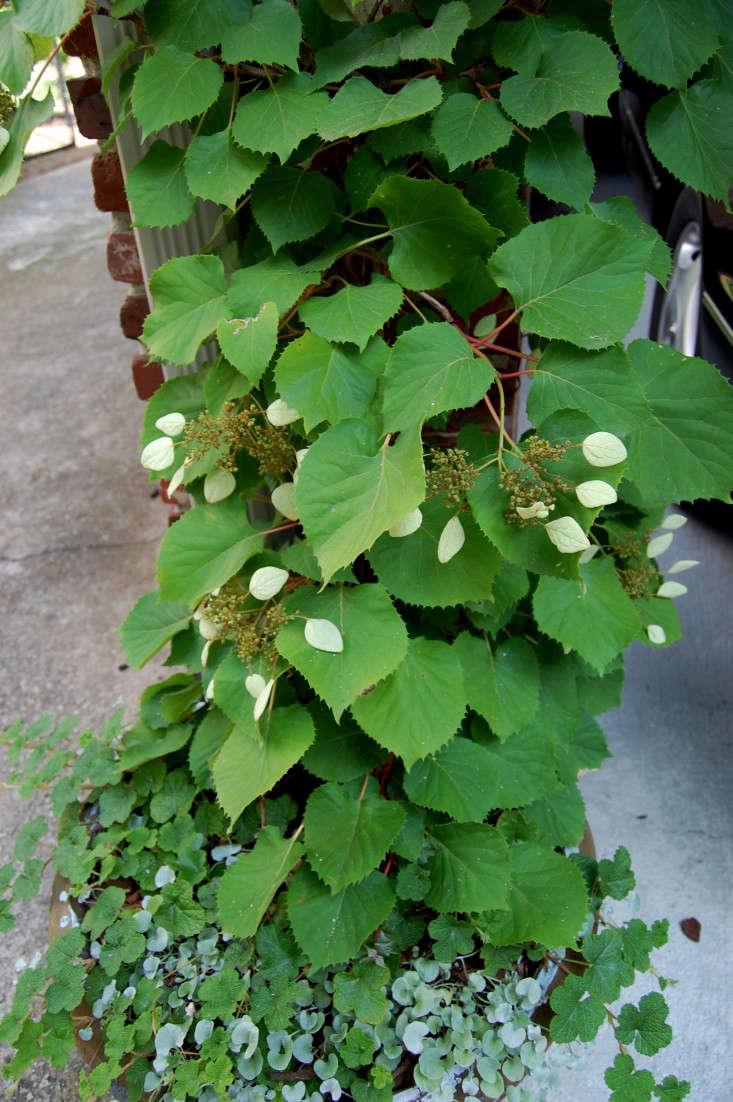 hydrangea-schizophragma-hydrangeoides-gardenista