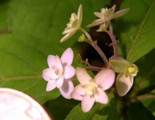 Hydrangea-serrata-Midoriboshi-Temari-gardenista