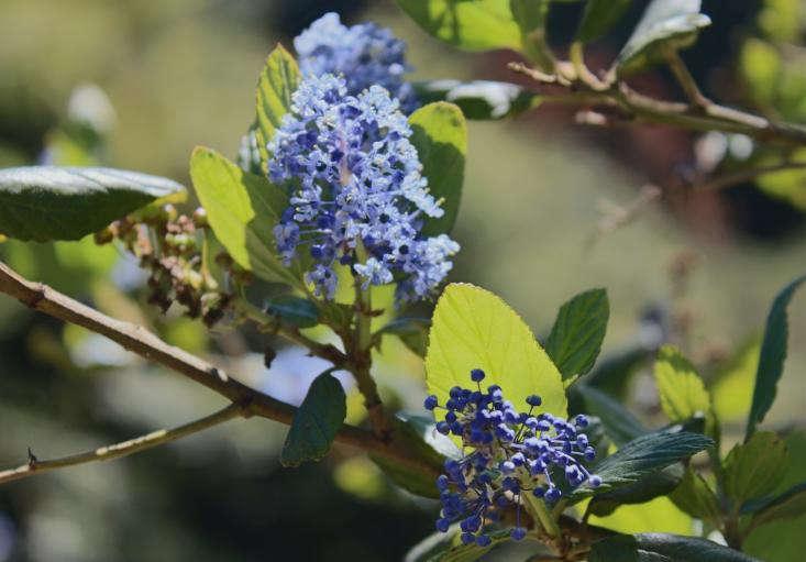 California Lilac byMichelle Slatalla. For more, see Garden Visit: SF Botanical Garden in Golden Gate Park.
