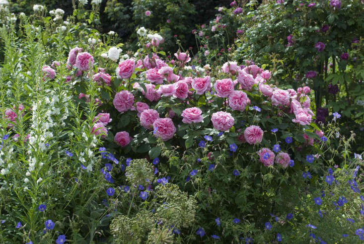 david-austin-roses-gertrude-jekyll-epilobium-geranium-brookside-gardenista-1-e1466458801931