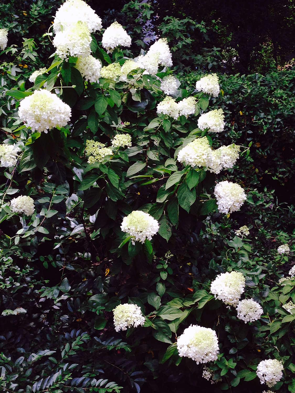 limelights_full_bloom_gardenista