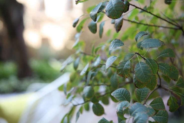 smoke-bush-2-ishka-designs-brooklyn-gardenista