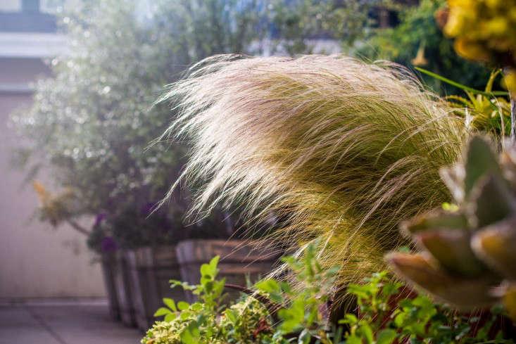 stipa-mexican-feather-grass-gardenista