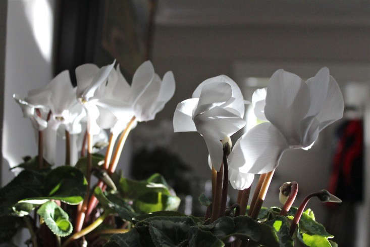 Christmas potted cyclamen on mantel l Gardenista