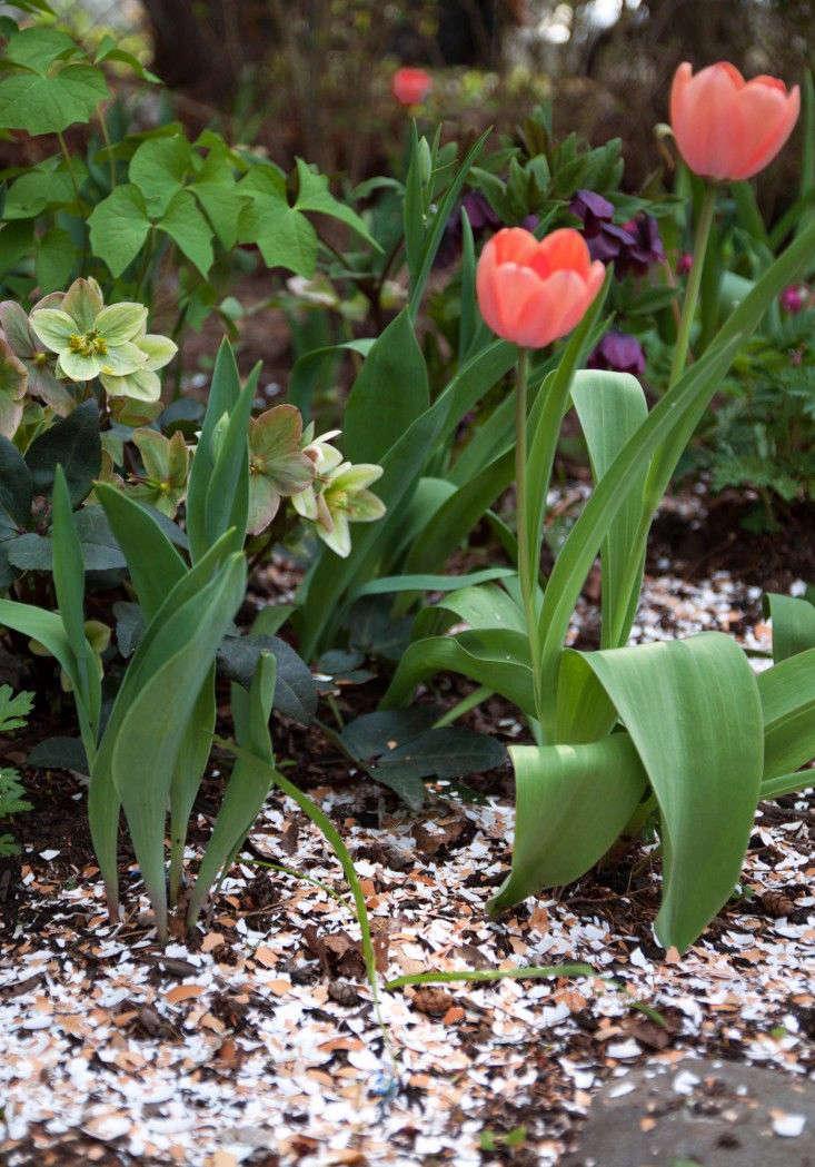 egg-shell-mulch-tulips-hellebores-gardenista
