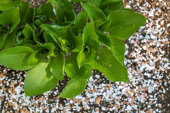 egg-shells-hosta-gardenista