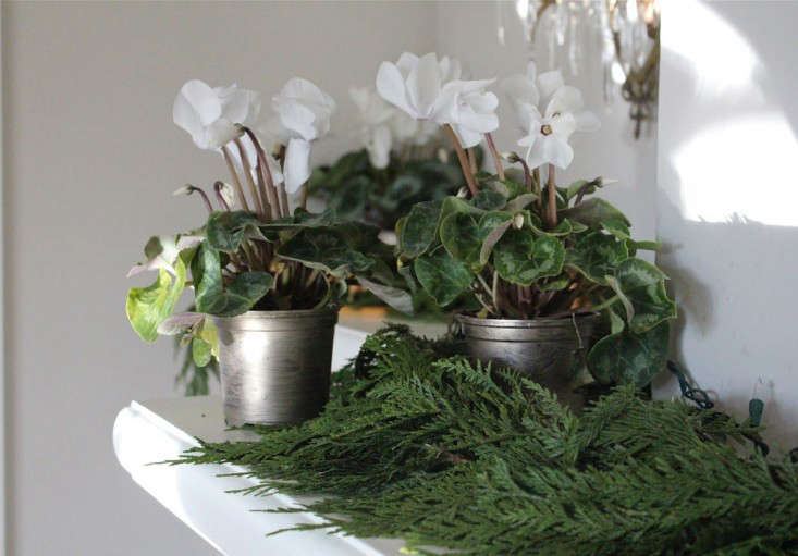 A White Christmas, With Potted Cyclamen