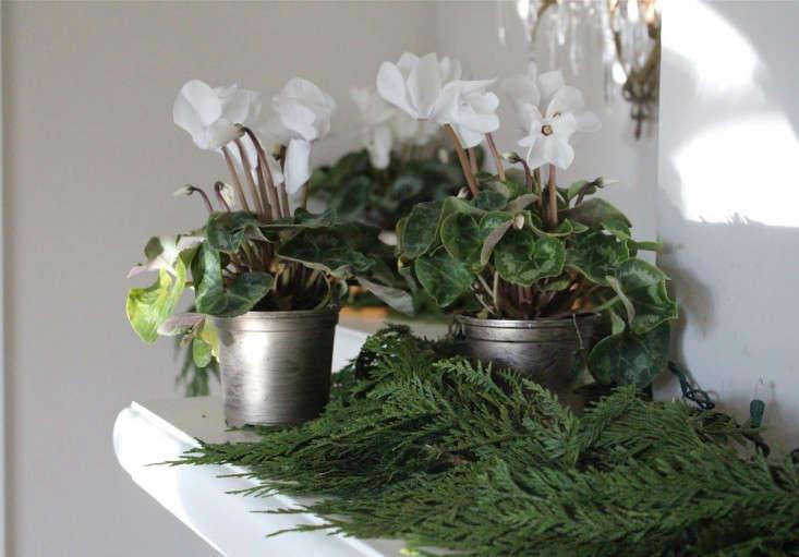 white cyclamen in pots Christmas ; Gardenista