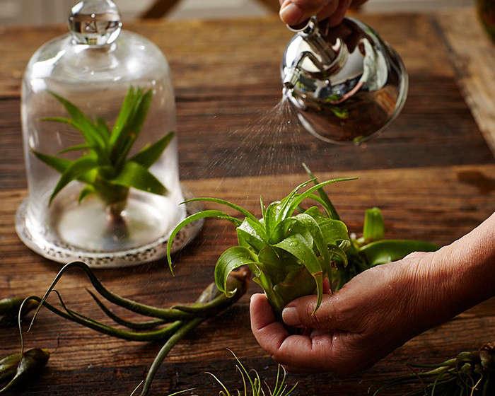 air plants tillandsias hand l Gardenista