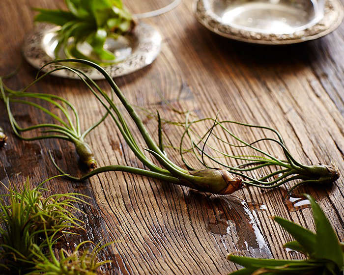 air-plants-tillandsias-water-wet-wood-table-gardenista