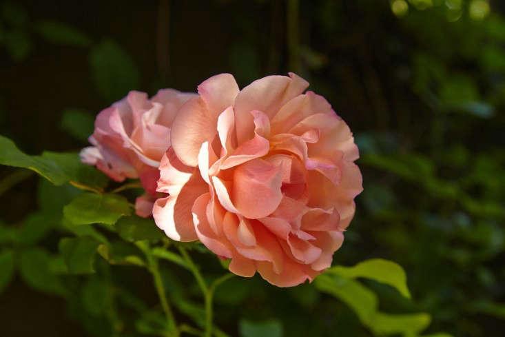 linda-tom-kubik-pat-austin-rose-gardenista-733x489