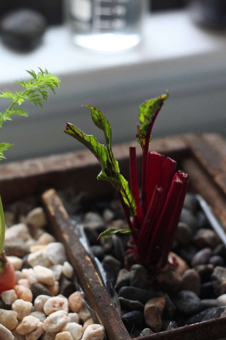 Compost Garden, sprouting beets-733x1099