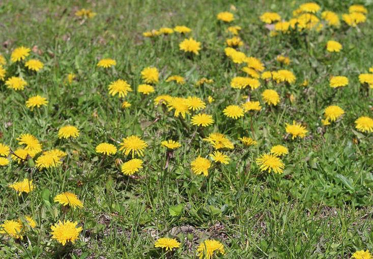 dandelion lawn_marie viljoen_gardenista