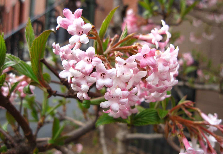 Winter viburnum pretty in pink gardenista sourcebook for outdoor winter viburnum pretty in pink mightylinksfo