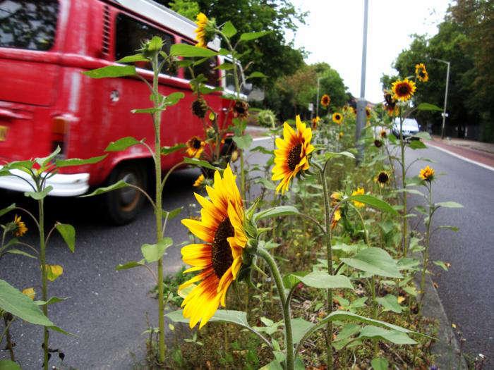 guerrilla-gardening_sunflowers-london-gardenista