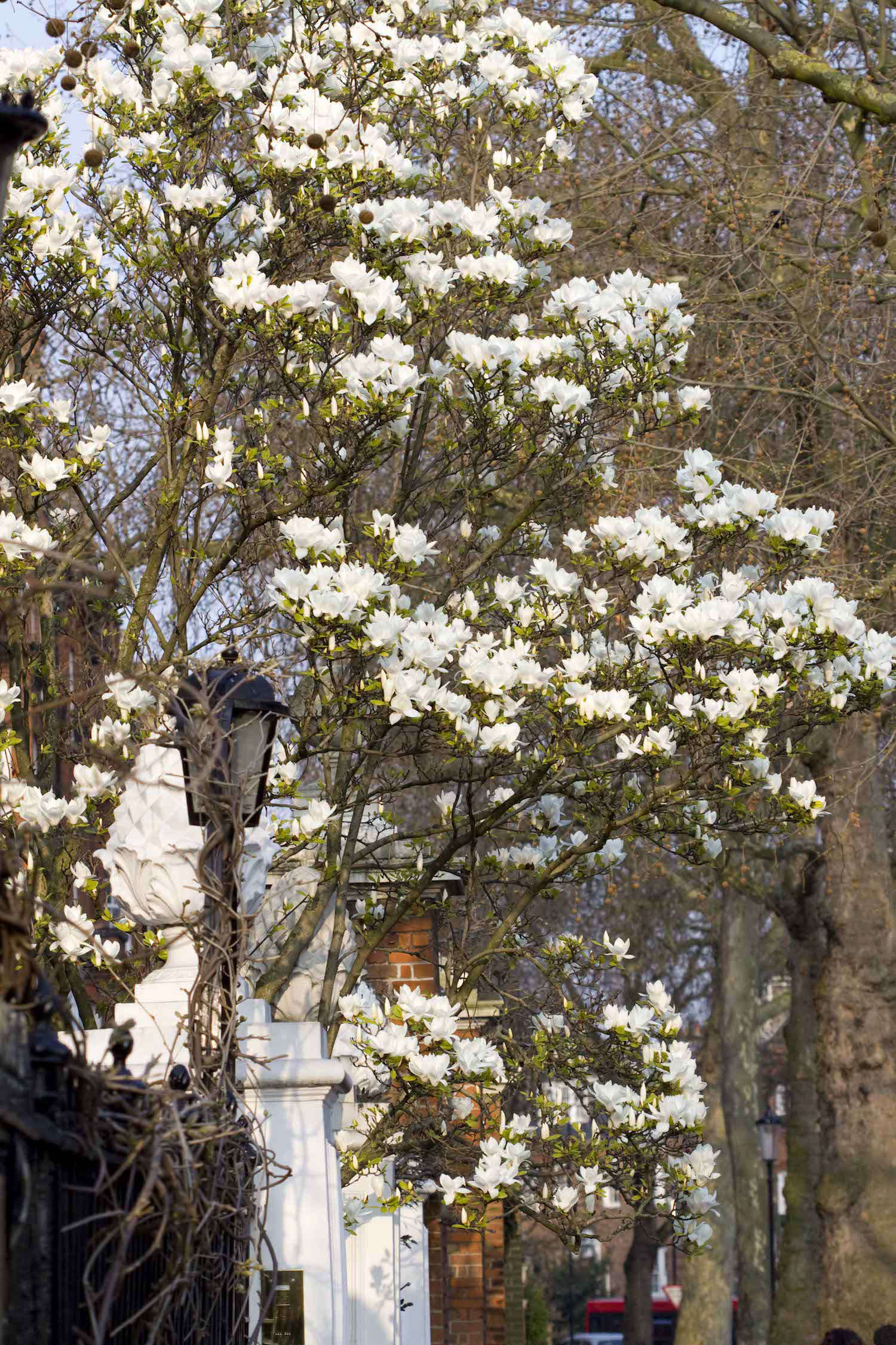 Insider\'s London: Where to See Magnolias in Bloom | Gardenista ...