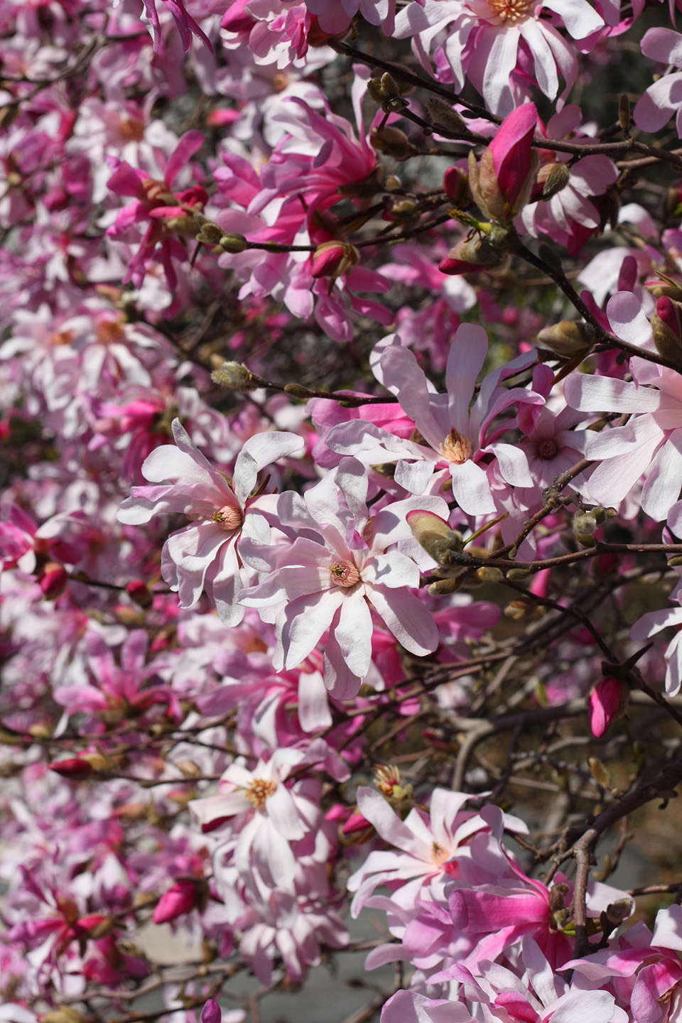 8 Cold Climate Flowering Shrubs And Small Trees For Early