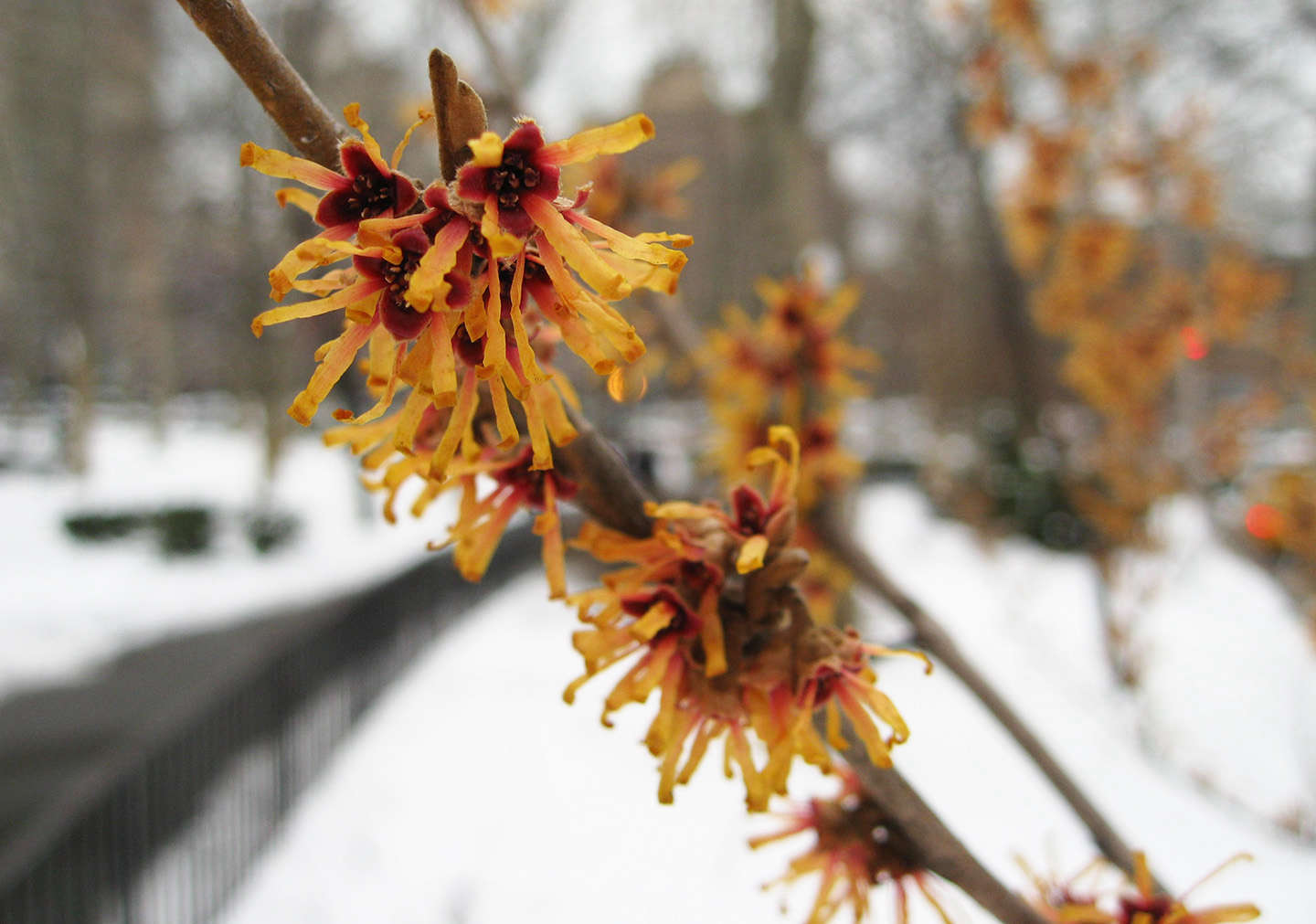 8 Cold-Climate Flowering Shrubs and Small Trees for Early Spring ...