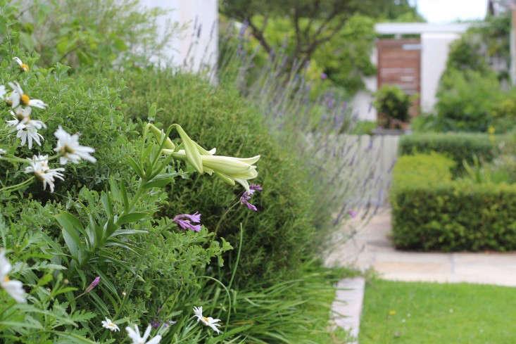 Cape-Town-garden-nightscent-lilies-gardenista-733x489