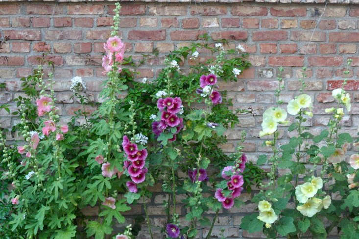 hollyhocks_brick_wall_gardenista