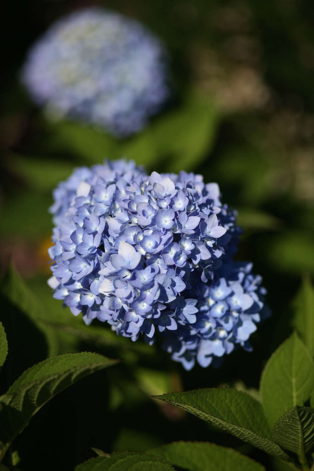 A Master Class In Pruning Hydrangeas From White Flower