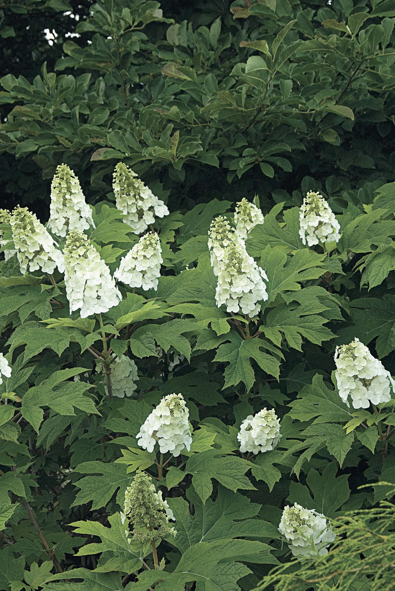 A master class in pruning hydrangeas from white flower for Hydrangea quercifolia