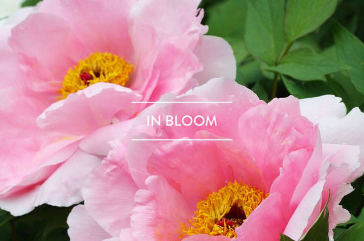 toc-in-bloom-may-2016-gardenista