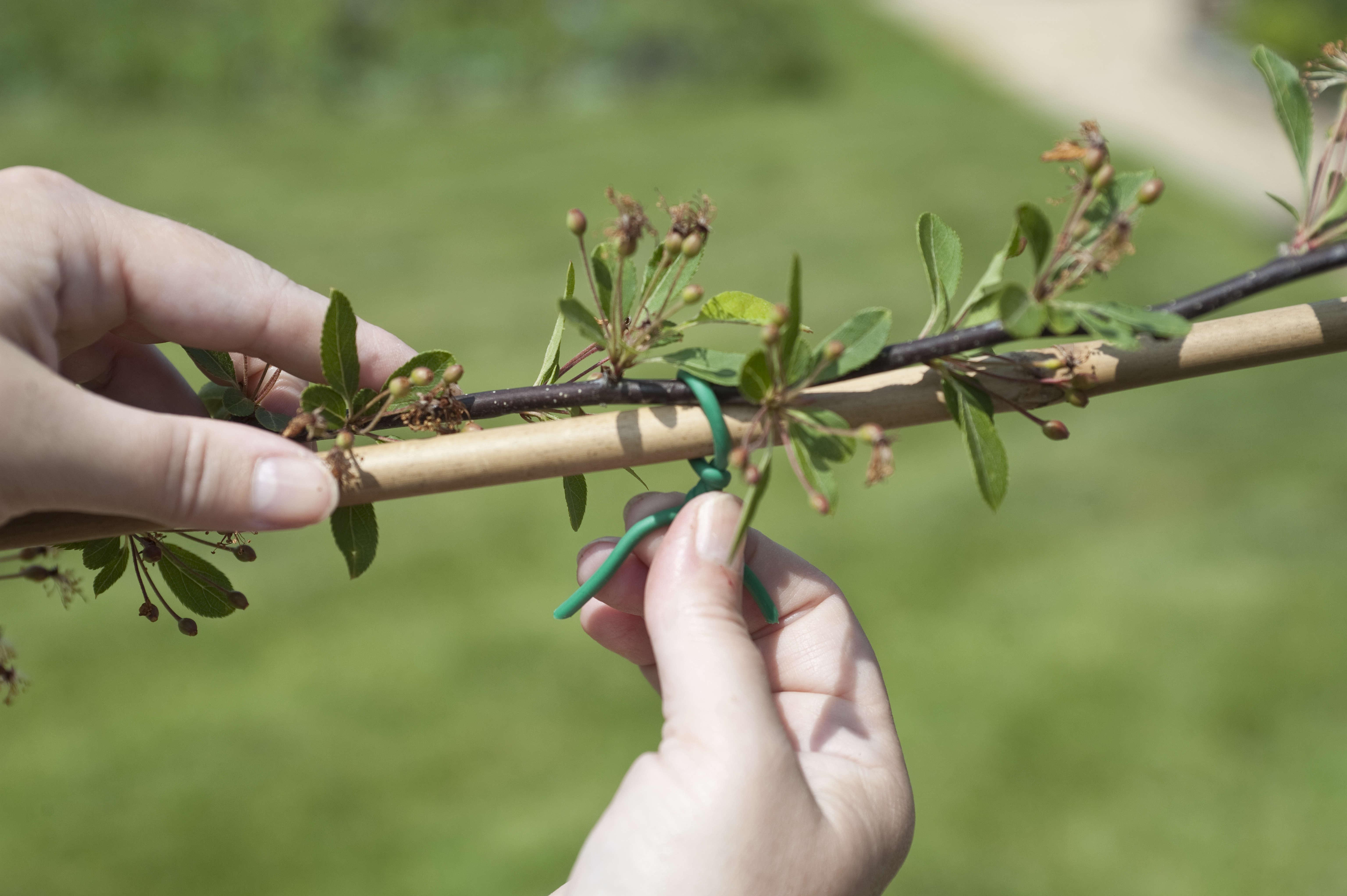 DIY: An Espalier Tree Screen - Gardenista