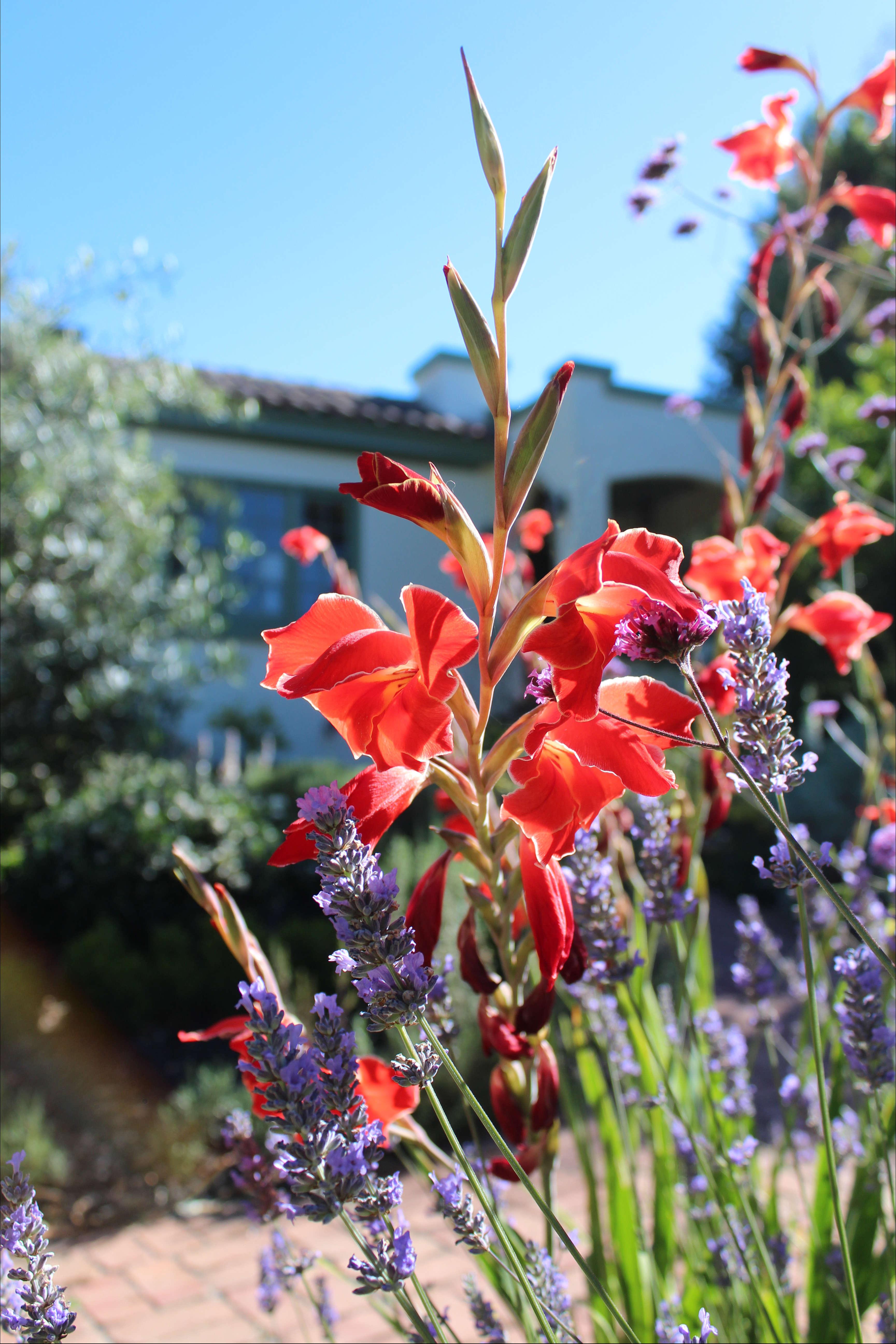 Gladiolus - Jardinería en el Sureste Costero
